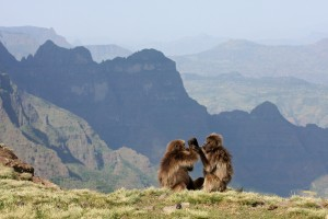 A mother gelada and her daughter grooming in the Simien Mountains National Park, Ethiopia.