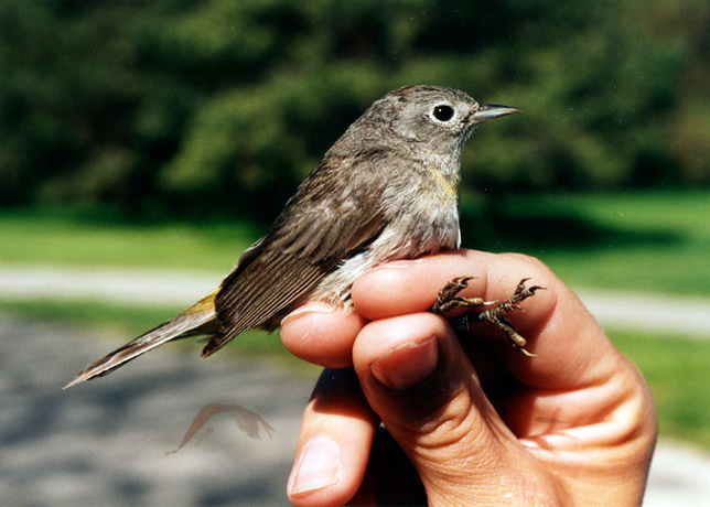 May 13, 1993: A Virginia warbler, a small bird whose habitat is the U.S. southwest, is banded at the Rouge River Bird Observatory- the first time this bird has been seen in Michigan.