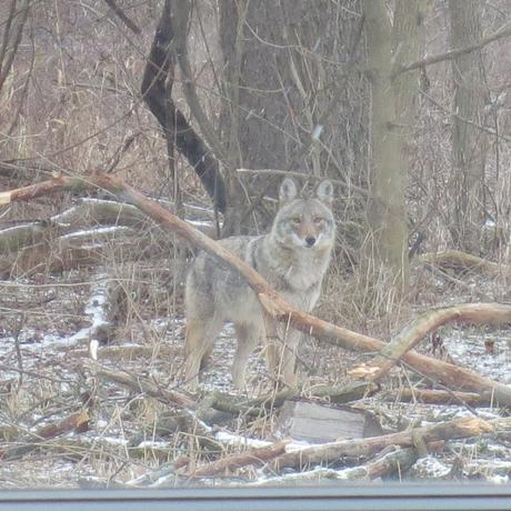 Coyote standing outside wildlife observation room at EIC
