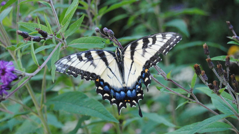 Eastern tiger swallowtail visits flowers in the Pollinator Garden