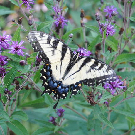 Eastern tiger swallowtail butterfly visits ironweed plant in Pollinator Garden