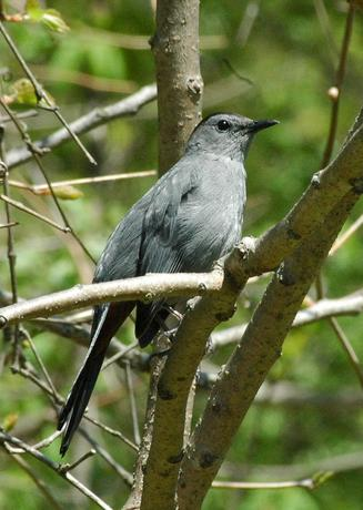 Gray Catbird in Environmental Study Area