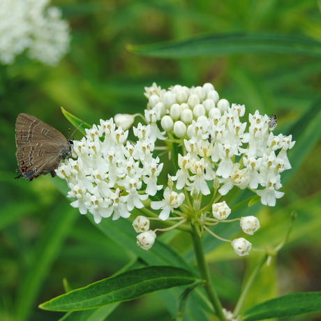 Gray hairstreak butterfly on swamp milkweed plant in Pollinator Garden