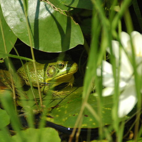 Green frog in Rose Garden Pond