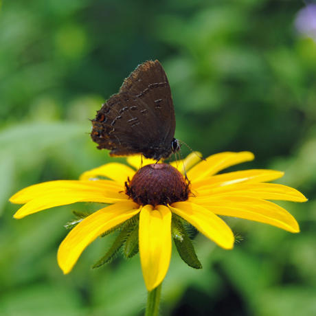 Banded hairstreak butterfly on black-eyed Susan