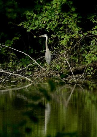 Great Blue Heron in Fairlane Lake
