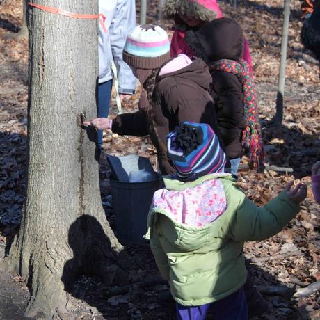Child samples maple sap during Maple Syrup Science Program