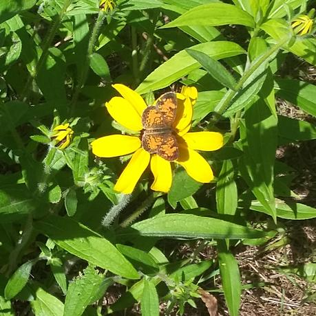 Northern crescent butterfly on black-eyed Susan