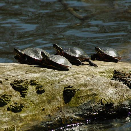 Painted turtles sunning themselves on a log