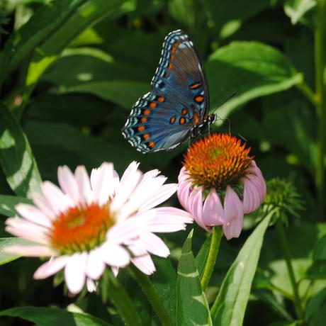 Red-spotted purple butterfly on coneflower in Pollinator Garden