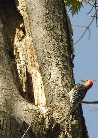 Red-bellied Woodpecker in Environmental Study Area
