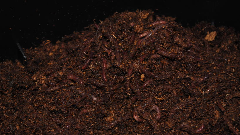 Redworms in composting bin