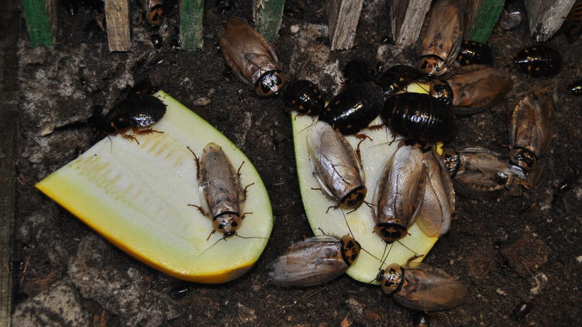 Roaches eating food waste