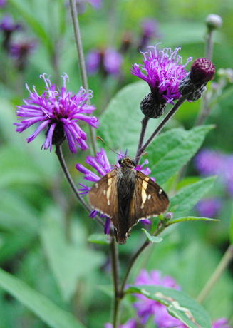 Silver-spotted skipper on ironweed plant in Pollinator Garden