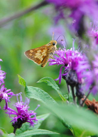 Beck's skipper butterfly on ironweed plant in Pollinator Garden