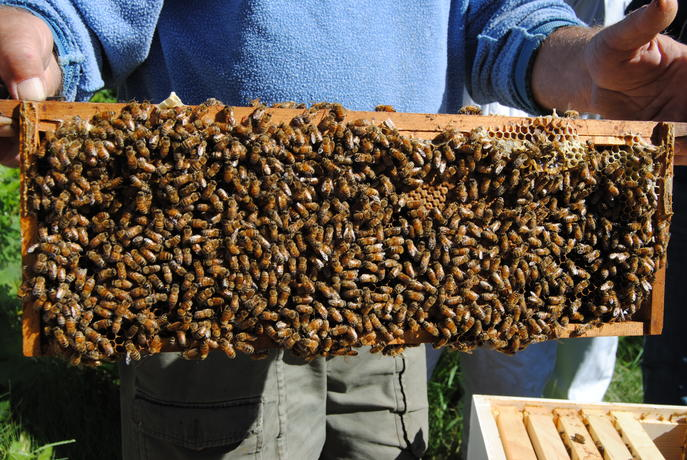 This beeframe is full of bees and brood (future bees)
