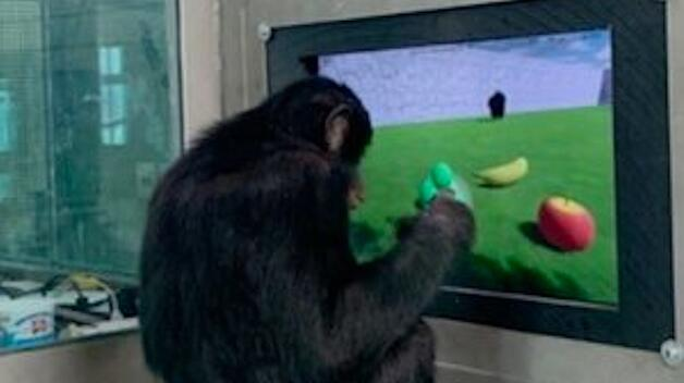 Photo of Teco, a 9 year old bonobo, who is participating in Professor Francine Dolins research