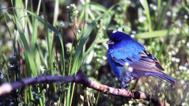 Photo by Jim Simek; image of Indigo Bunting on UM-Dearborn's campus